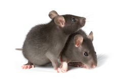 Rats. Two little decorative rats on white background Stock Photos