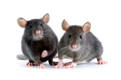 Rats. Two little decorative rats on white background Stock Image