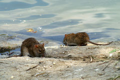 Rats. 2 hungry rats in their natural habitat Royalty Free Stock Images