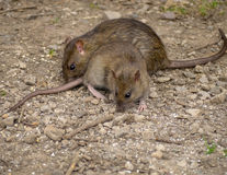rats images stock