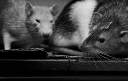 rats Photographie stock