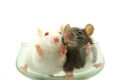 Rats Royalty Free Stock Photos