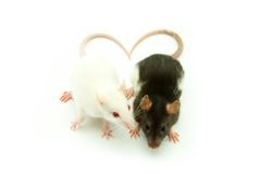 Rats Royalty Free Stock Image