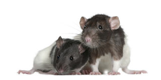 Rats, 9 and 3 months old, in front of white Stock Image