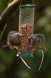 Rats on a Bird Feeder Royalty Free Stock Photos