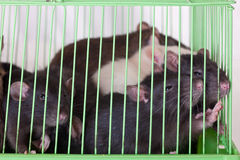 Rats in cage Stock Images