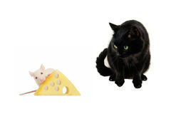 Rats and cat Royalty Free Stock Image
