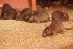 Rats chez le Karni Mata Temple image libre de droits