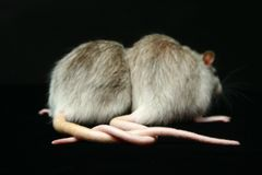 Rats with Connected tails Royalty Free Stock Images
