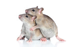 Rats cuddling on a white background Stock Image