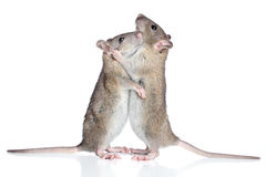Rats cuddling on a white background Stock Photos