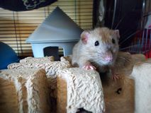 Rats d'animal familier images libres de droits