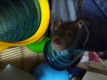 Rats d'animal familier photographie stock