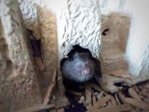 Rats d'animal familier photos libres de droits