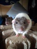Rats d'animal familier photos stock
