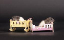Rats dans des lits d'un jouet Photos libres de droits