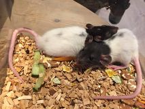 Rats de bébé Photos stock