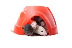 Rats de bébé dans un dôme en plastique Image libre de droits