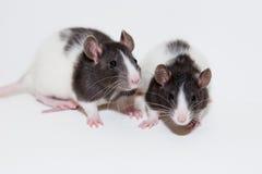 Rats de chéri photo libre de droits