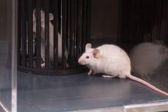 Rats de laboratoire et dispositifs médicaux image libre de droits