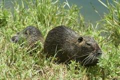 Rats de Nutria image libre de droits