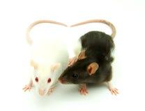 rats deux photos libres de droits