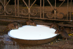 Rats drinking milk Royalty Free Stock Photos
