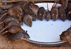 Rats drinking milk in Karni mata temple Royalty Free Stock Image
