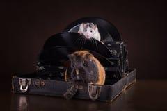 Rats et cobayes Photographie stock libre de droits