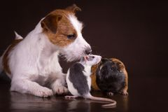 Rats and guinea pigs and dog Stock Photos