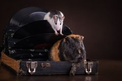 Rats and guinea pigs Stock Photo