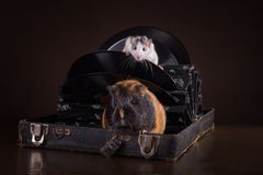 Rats and guinea pigs Royalty Free Stock Photography