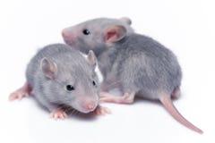 Rats mignons de bébé Photo libre de droits