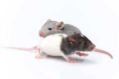 Rats mignons de bébé Photos libres de droits