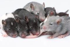 Rats mignons de bébé Images stock