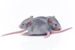 Rats mignons de bébé Photographie stock libre de droits