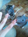 Rats mignons de soeurs Photographie stock libre de droits