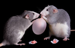 Rats playing with bubble gum royalty free stock photos