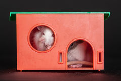 Rats in the red house Royalty Free Stock Photography