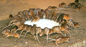 rats sacrés Images stock