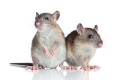 Rats sur le fond blanc Photographie stock