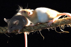 Rats. Two rats climbing on rope Stock Photo