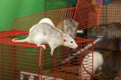 Rats on walk Royalty Free Stock Photo