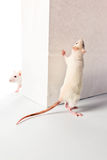 Rats and white bag Stock Images