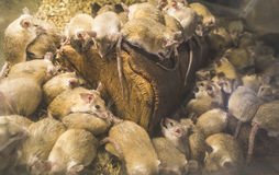 Rats on wood. In cell. Many rats Royalty Free Stock Photo