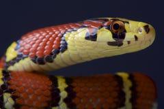 Ratsnake Chapa/bella Archelaphe chapaensis Стоковые Фотографии RF