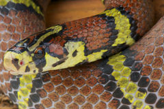 Ratsnake de Chapa/chapaensis bella d'Archelaphe Photo libre de droits