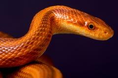 Ratsnake Dion/dione змея Стоковое Изображение