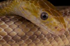 ratsnake kolor żółty Fotografia Stock
