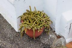 Rattail kaktus, Disocactus, w kwiatu garnku obrazy stock